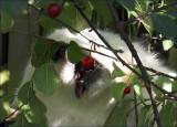Cherry-Hunt