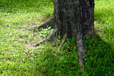 Tree, Roots and Grass - June