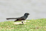 fantails_willy_wagtail