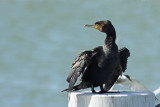 darters_cormorants