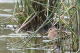 snipes_dowitchers
