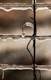 Ice Vine