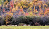 Cows in the Fall