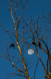 Crows and the Moon