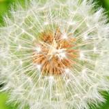 IMG_2711a.jpg Dandelion seed head - © A. Santillo 2010