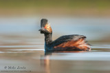 Eared Grebe beauty