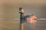 Eared Grebe in calm waters