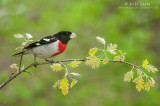 Rose-Breasted Grosbeak on Oak branch