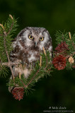 Boreal owl on pines at night