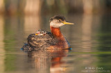 Red-necked grebe with 2 riders