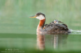 Red-Necked Grebe with three babies