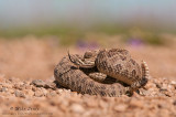 Prairie Rattlesnake in Badlands