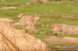 Bighorn sheep (Ewe) on Badlands cliff