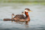 Red necked grebe with babies