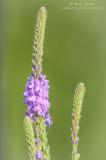 Hoary Vervain - Verbena family flower