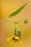 Tree frog dangles on flower