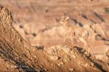 Bighorn sheep ewe on rocky tops