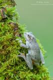 Tree frog on mossy green log