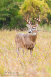 White-tail Buck in fall prairie