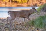 Buck in autumn foilage