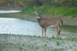 Buck by the river