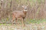 Big autumn Buck
