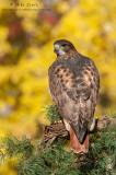 Redtailed Hawk autumn gold