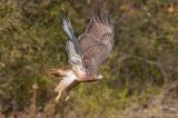 Redtailed hawk bursts