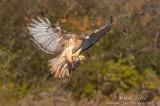 Red-tailed Hawk flight