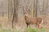 White-tailed deer at forest edge