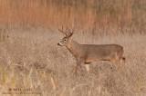 White-tail strolls through high grasses
