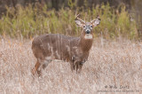 White-tailed deer stare down