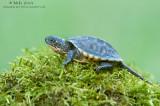 Blandings turtle baby on moss