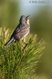 Kirtlands warbler singing away