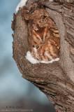Eastern Screech Owl  (red morph) in cavity