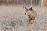 White-tailed deer approaching