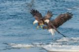 Bald eagles battling for a Gizzard Shad