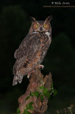 Great horned owl at night