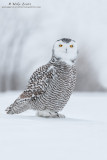Snowy owl foot up