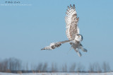 Snowy Owl cranked up