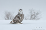Snowy Owl perfect pose on snow
