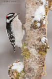 Downy Woodpecker on moss coated birch