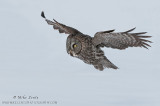 Great Gray Owl in flight over white