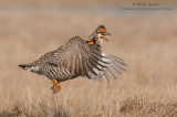 grouse__prairie_chickens