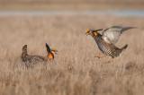 Prairie Chickens dueling on the Lek