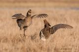 Prairie chicken battle