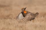 Prairie chicken about to jump