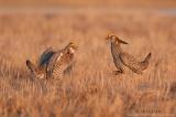 Greater Prairie chickens doing battle