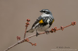 Yellow rumped warbler portrait on red buds