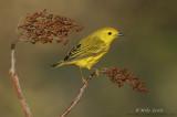 Yellow warbler on Sumac